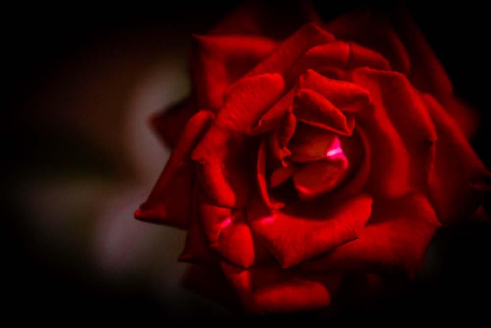 【Go To】東京GoTo解禁!!『ホテルニューオータニ』に泊まってみた【Red Rose Garden】